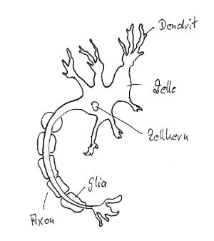 Nervenzelle,Nervensystem
